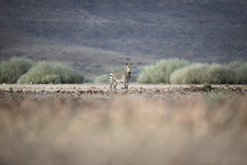 Зебра в уступке Palmwag Kaokoland, регион Kunene Намибия Запачканный передний план Жесткий ландшафт стоковые фото