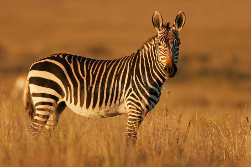 зебра горы плащи-накидк стоковые фотографии rf