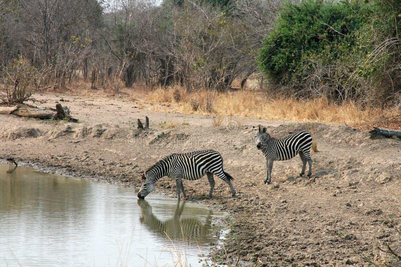 зебра Замбии Африки стоковые изображения