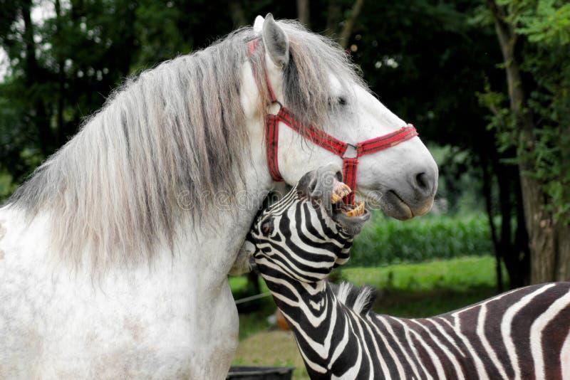 Зебра играя с белой лошадью Портрет смешных животных внешних