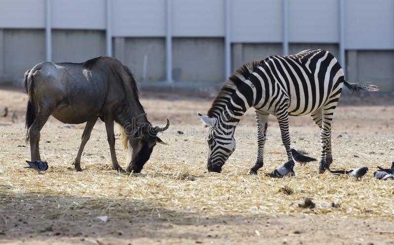 Зебра и олени стоковое изображение rf