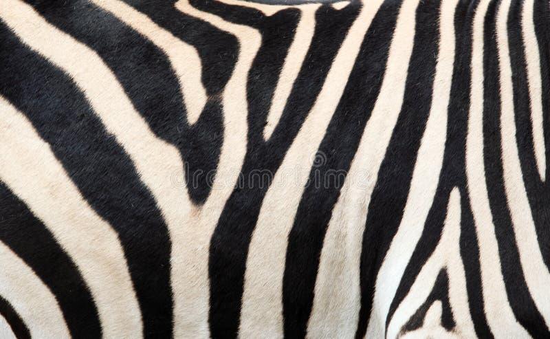 зебра кожи предпосылки стоковая фотография rf