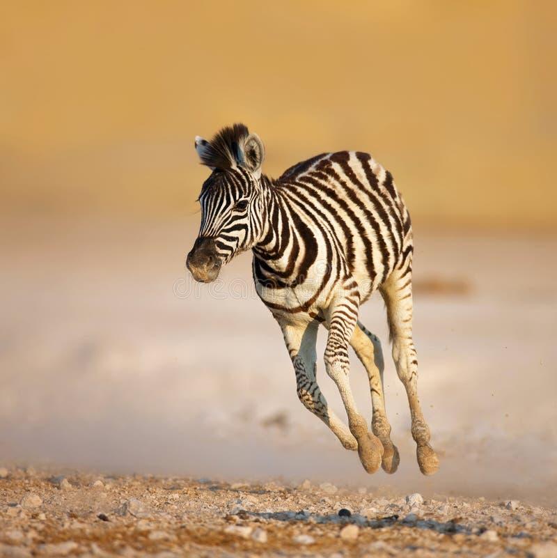 зебра младенца идущая стоковые изображения rf