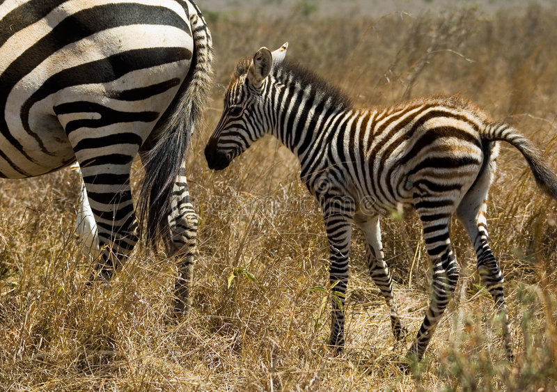 зебра младенца стоковые фото
