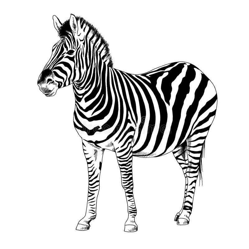 Зебра нарисованная с чернилами и цвета рук вектором искусства шипучки стоковое изображение rf