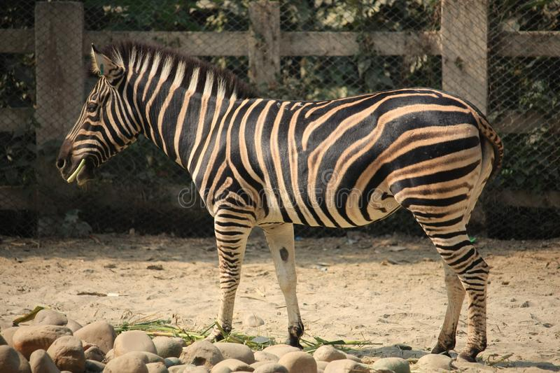 Зебра на зоопарке стоковое изображение