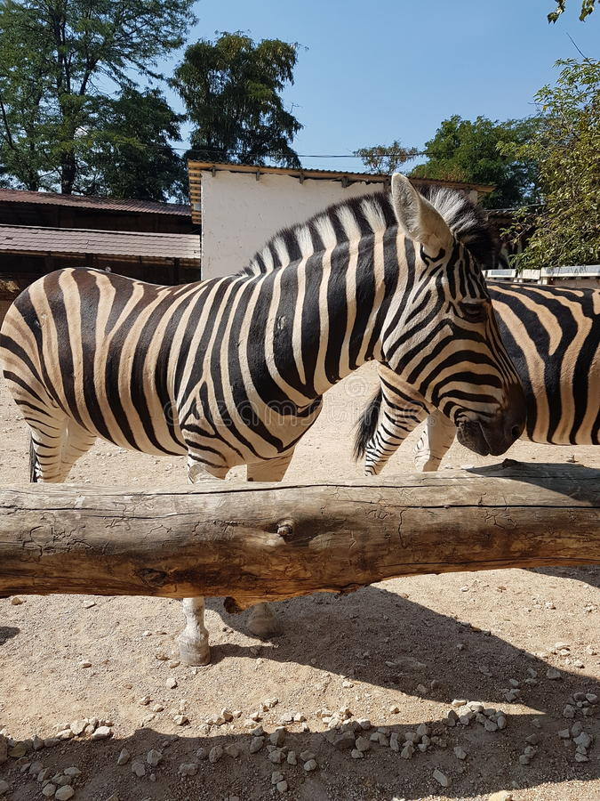 Зебра на зоопарке стоковые фотографии rf