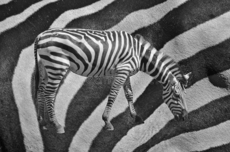 Зебра на кожаной предпосылке стоковое фото
