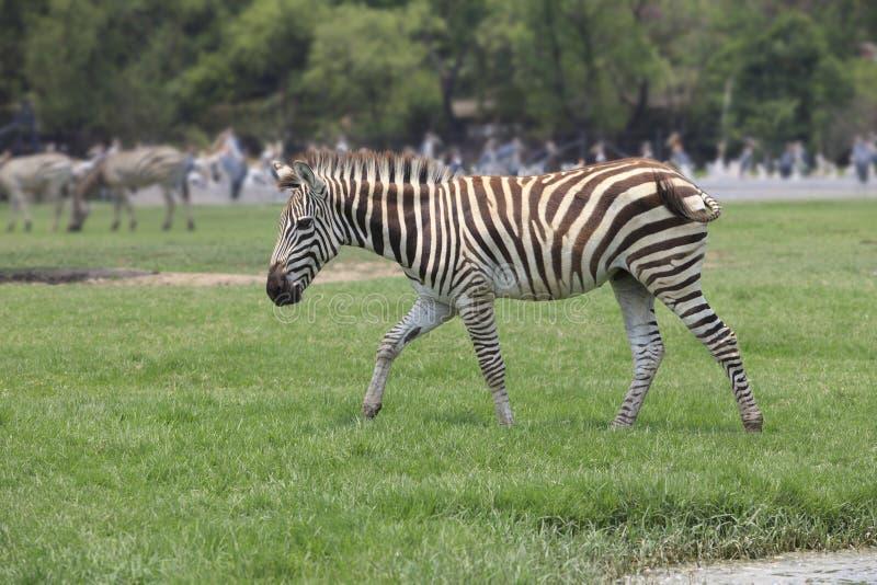 Зебра на поле зеленой травы стоковые изображения rf