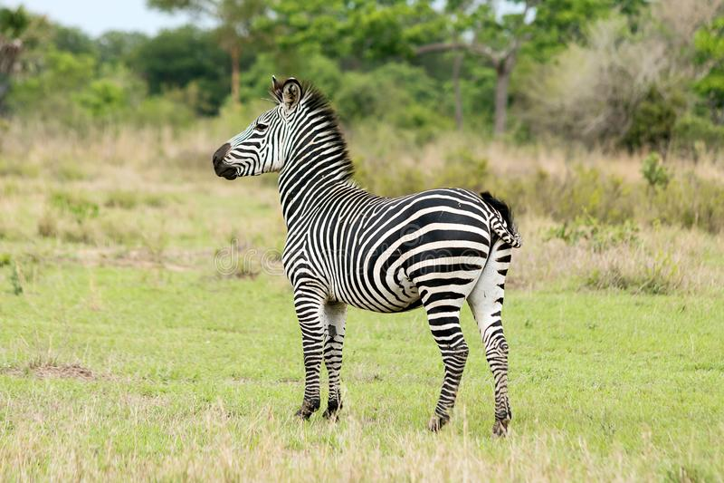 Зебра на сафари стоковые фото