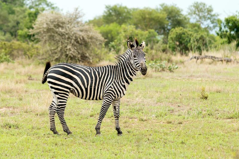 Зебра на сафари стоковое изображение