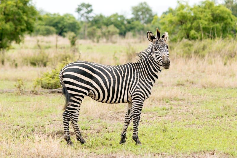 Зебра на сафари стоковое фото rf