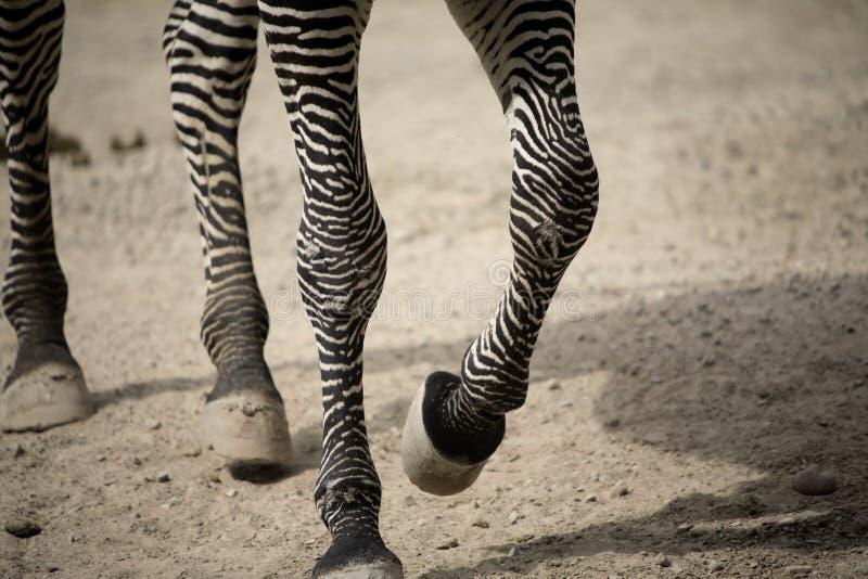 зебра ног гуляя стоковые изображения