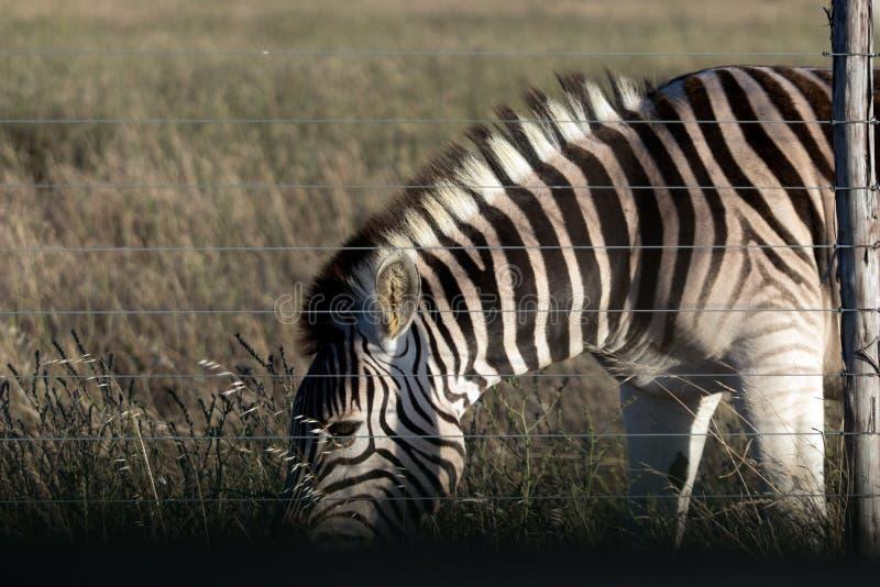 Зебра пася за загородкой стоковое фото rf