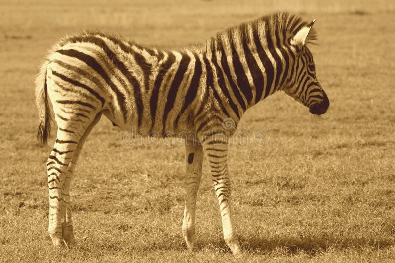 зебра пыжика стоковое изображение