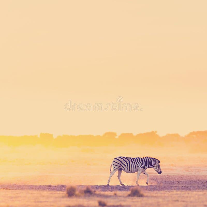 Зебра Сансет Африка стоковое изображение rf