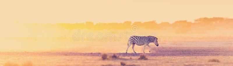 Зебра Сансет Африка стоковые изображения rf