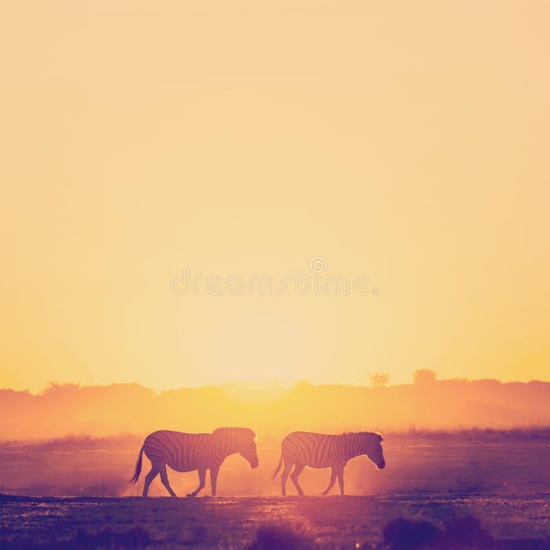 Зебра Сансет Ботсвана стоковые фотографии rf