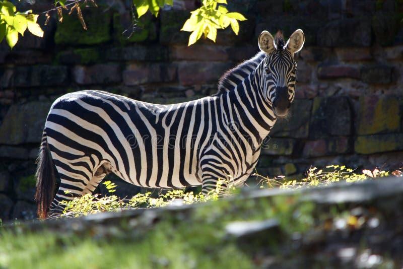 Зебра стоя в солнечном свете стоковое фото rf