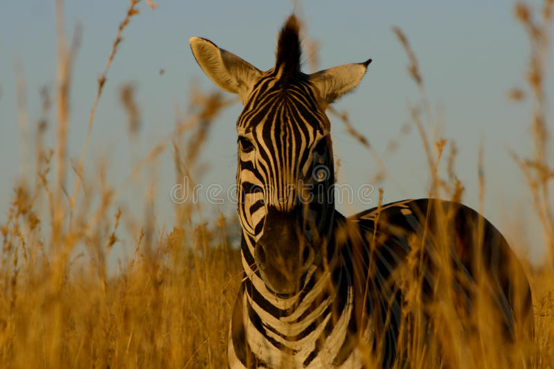 зебра травы стоковая фотография rf