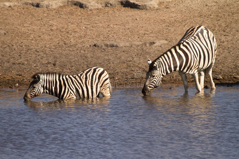 Download зебра стоковое изображение. изображение насчитывающей озеро - 18388375