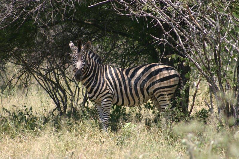 Download зебра стоковое фото. изображение насчитывающей парк, вышесказанного - 78020