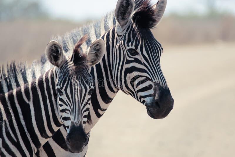 зебра burchell s 2 стоковое изображение