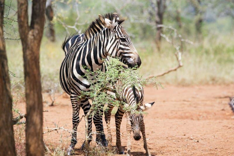 зебра equus икры burchellii стоковые фотографии rf