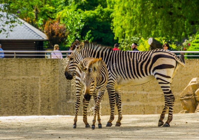 Зебра hartmanns матери с осленком в животном зоопарке Антверпена, Antwerpen, Бельгии, 23-ье апреля 2019 стоковые фотографии rf
