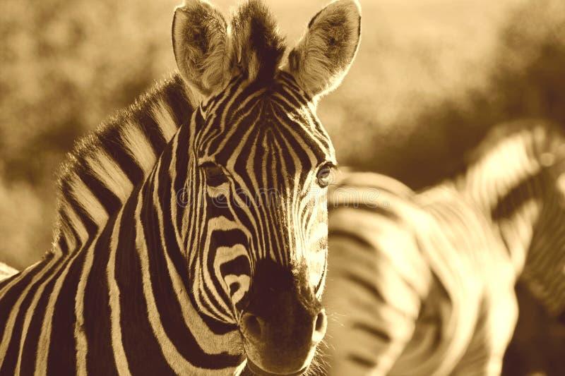 зебра sepia стоковые изображения rf
