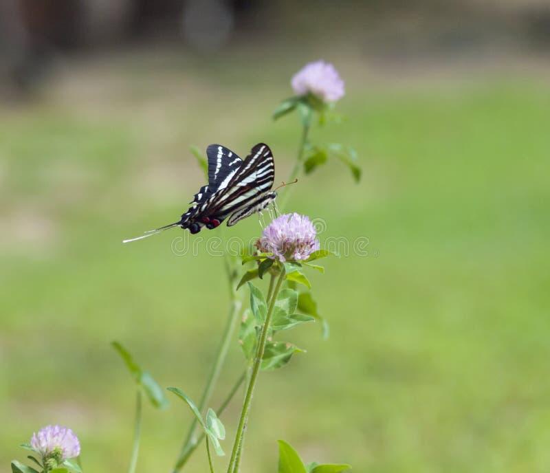 Зебра Swallowtail (1) стоковое изображение rf