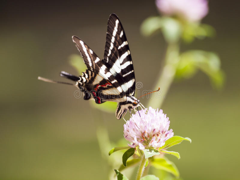 Зебра Swallowtail (4) стоковое фото