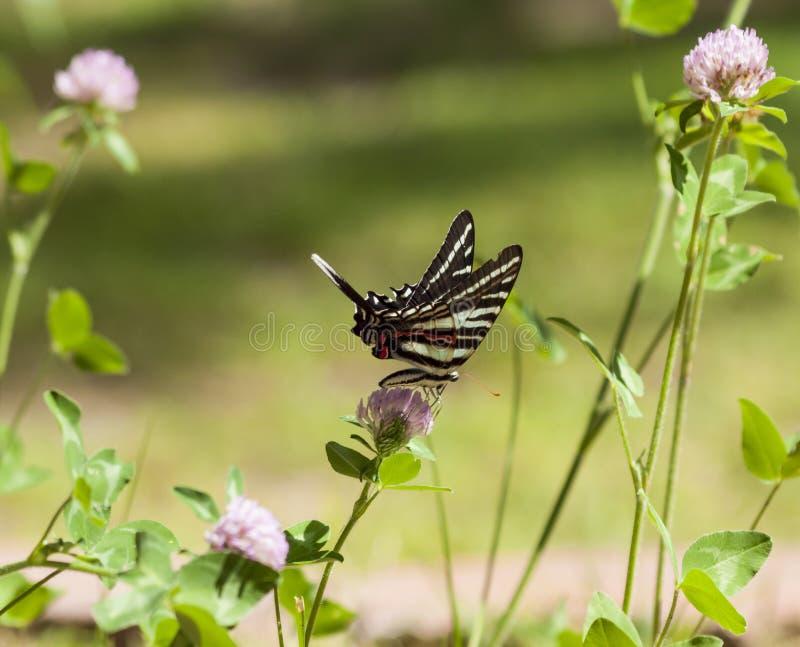 Зебра Swallowtail (2) стоковые фото