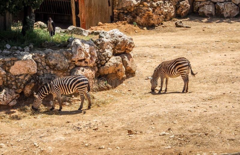 Зебры в библейском зоопарке в Иерусалиме, Израиле стоковые изображения rf
