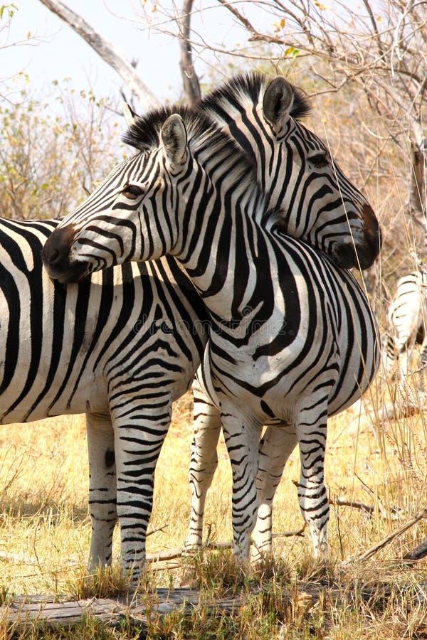 Зебры в bush. стоковое изображение