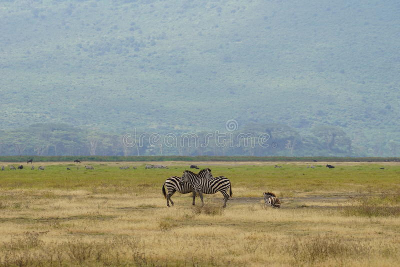 Зебры в Ngorongoro, Танзании стоковые изображения