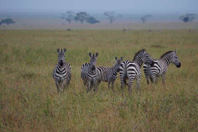 Зебры в Serengeti стоковое изображение