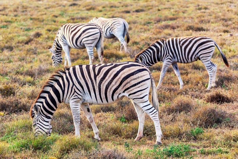Зебры есть траву в национальном парке Addo, Южной Африке стоковая фотография rf