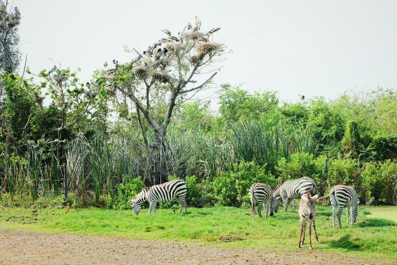 Зебры есть хранят траву на, который стоковые изображения