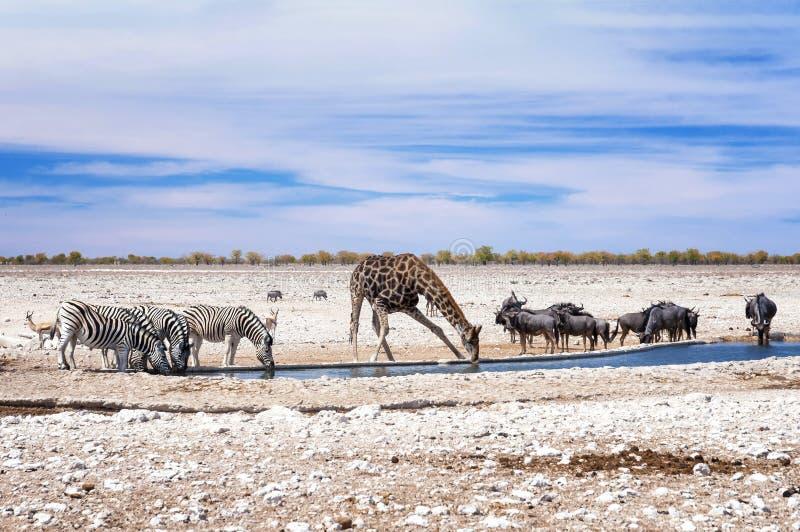 Зебры, жираф и антилопы гну на водном бассейне в Etosha паркуют Etosha национальный парк в северозападной Намибии стоковая фотография