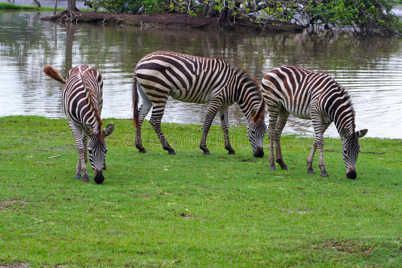 зебры мира сафари 3 bangkok гуляя стоковые фото