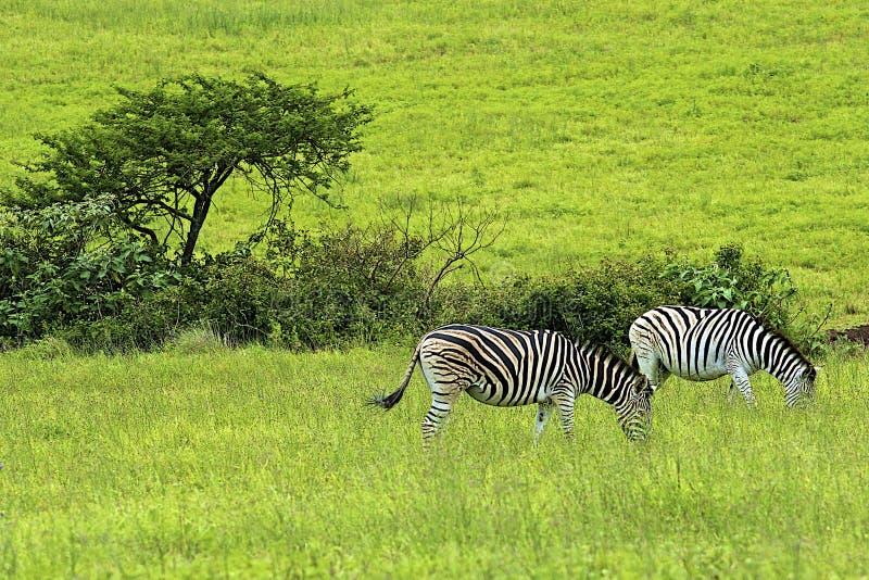 Зебры стоковые изображения