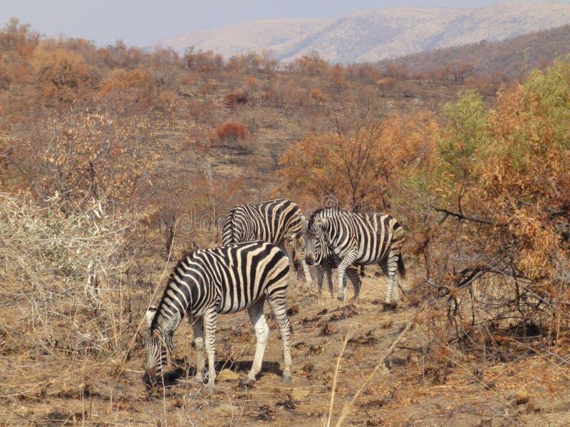Зебры стоковая фотография rf