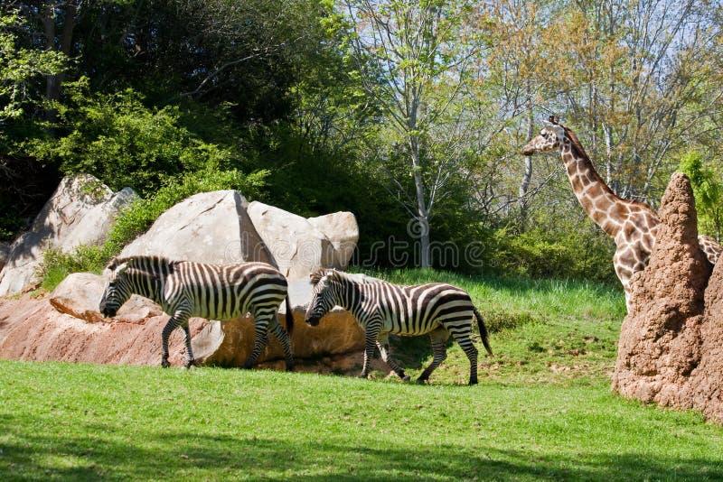 зебры giraffe стоковые фотографии rf