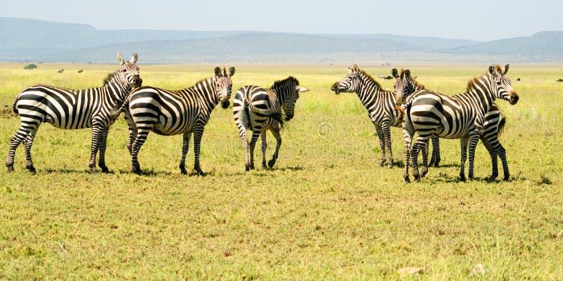 6 зебр стоковые фото