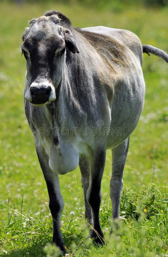 Зебу, иногда известный как humped скотины стоковое изображение rf
