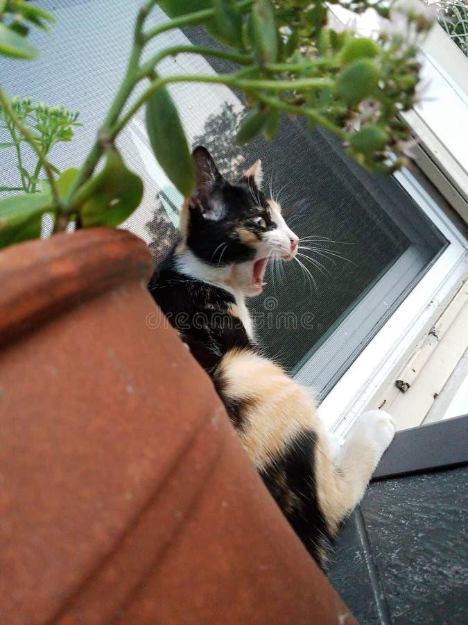 Зевая кот ситца стоковая фотография rf