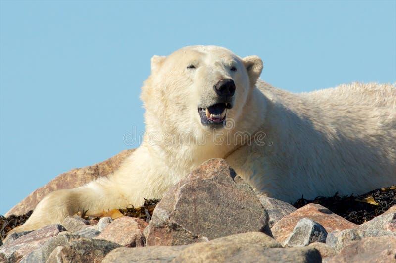Зевая полярный медведь стоковые фотографии rf