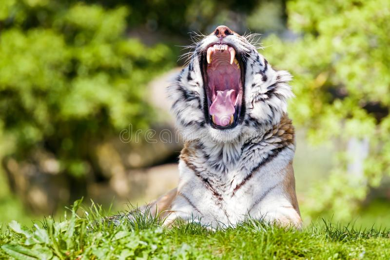 Зевая сибирский тигр в солнечности после полудня стоковая фотография rf