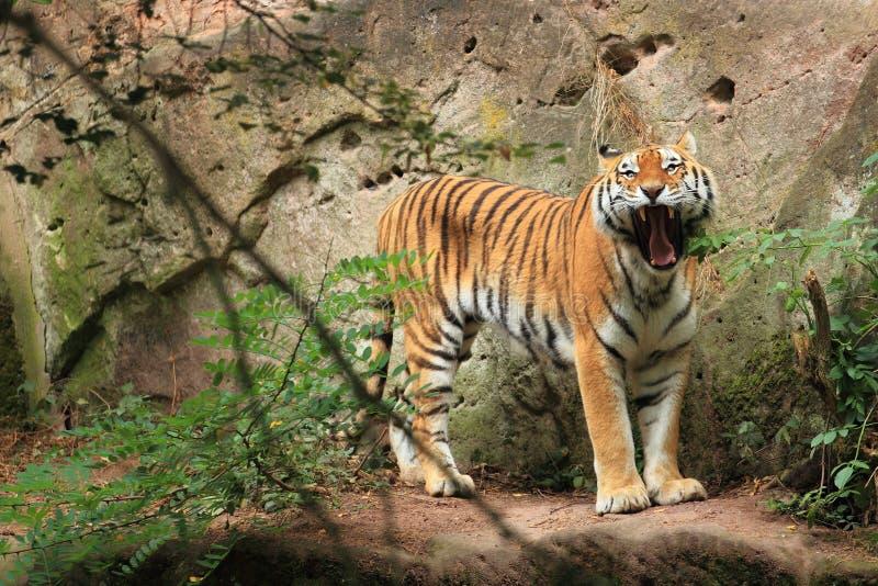 Зевая siberian тигр стоковое изображение